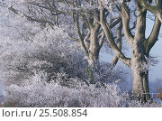 Купить «Hoar frost on trees, woodland, UK», фото № 25508854, снято 16 августа 2018 г. (c) Nature Picture Library / Фотобанк Лори