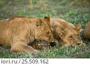 Купить «Lions {Panthera leo} play with Leopard tortoise, Okavango delta, Botswana», фото № 25509162, снято 16 августа 2018 г. (c) Nature Picture Library / Фотобанк Лори