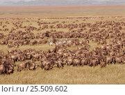 Wildebeest migration {Connochaetes taurinus} Serengeti NP, Tanzania. Стоковое фото, фотограф Jabruson / Nature Picture Library / Фотобанк Лори