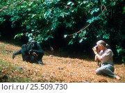 Купить «Jane Goodall photographing Chimpanzees in Gombe, Tanzania. 1994 - 30th anniversary of Jane Goodall's work with chimps», фото № 25509730, снято 28 января 2020 г. (c) Nature Picture Library / Фотобанк Лори