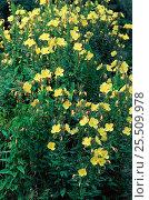 Купить «Common evening primrose {Oenothera biennis} Germany Sequence 2/2  flowers open», фото № 25509978, снято 23 апреля 2018 г. (c) Nature Picture Library / Фотобанк Лори