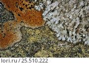 Купить «Lichen on moorland rock {Parmelia saxitilis}Inverness-shire, Scotland», фото № 25510222, снято 26 мая 2018 г. (c) Nature Picture Library / Фотобанк Лори