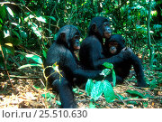 Orphan Bonobos {Pan paniscus} at Brazzaville sanctuary, Congo. Стоковое фото, фотограф Karl Ammann / Nature Picture Library / Фотобанк Лори
