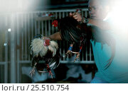 Купить «Man holding two fighting Cocks, Philippines - cock-fighting», фото № 25510754, снято 17 августа 2018 г. (c) Nature Picture Library / Фотобанк Лори