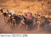 Купить «African wild dogs on kill {Lycaon pictus} Botswana, Africa», фото № 25511298, снято 19 февраля 2019 г. (c) Nature Picture Library / Фотобанк Лори