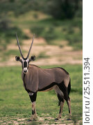 Oryx portrait {Oryx gazella} Kgalagadi transfrontier Park, Kalahari, South Africa. Стоковое фото, фотограф Pete Oxford / Nature Picture Library / Фотобанк Лори
