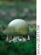 Купить «Death Cap toadstool {Amanita phalloides} deadly poisonous fungus», фото № 25511734, снято 22 июля 2018 г. (c) Nature Picture Library / Фотобанк Лори