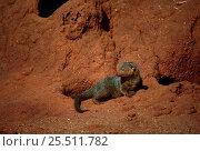 Dwarf Mongoose {Helogale parvula} on termite mound, Tsavo NP, Kenya. Стоковое фото, фотограф Jabruson / Nature Picture Library / Фотобанк Лори