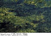 Купить «Floating Knotted wrack {Ascophyllum nodosum}, Scotland», фото № 25511786, снято 15 августа 2018 г. (c) Nature Picture Library / Фотобанк Лори