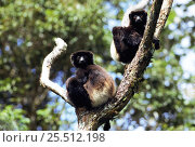 Two Milne Edwards sifaka {Propithecus diadema edwardsi} in tree Ranamafana NP, Madagascar. Стоковое фото, фотограф Pete Oxford / Nature Picture Library / Фотобанк Лори