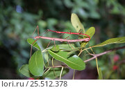 Купить «Stick insects mating {Phasmids}, NB sexual dimorphism, Seychelles», фото № 25512378, снято 22 сентября 2018 г. (c) Nature Picture Library / Фотобанк Лори