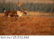 Купить «Caribou stag on tundra {Rangifer tarandus}, Kobuk Valley NP, Alaska», фото № 25512642, снято 24 марта 2019 г. (c) Nature Picture Library / Фотобанк Лори