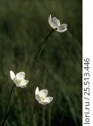 Купить «Grass of Parnassus {Parnasia palustris} flowers, Scotland, UK», фото № 25513446, снято 17 июля 2018 г. (c) Nature Picture Library / Фотобанк Лори