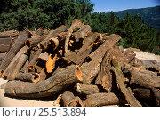 Купить «Cork oak bark freshly removed from Cork oak tree. Portugal {Quercus sober}», фото № 25513894, снято 22 сентября 2018 г. (c) Nature Picture Library / Фотобанк Лори