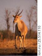 Eland, Zimbabwe. Стоковое фото, фотограф John Cancalosi / Nature Picture Library / Фотобанк Лори