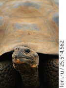 Купить «Head of Giant tortoise {Geochelone elephantopus}. Galapagos NP, Ecuador.», фото № 25514562, снято 16 февраля 2019 г. (c) Nature Picture Library / Фотобанк Лори