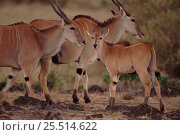Eland family group, Masai Mara, Kenya, East Africa. Стоковое фото, фотограф Anup Shah / Nature Picture Library / Фотобанк Лори