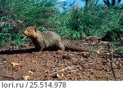 Dwarf mongoose {Helogale parvula} Tsavo West NP, Kenya. Стоковое фото, фотограф Jabruson / Nature Picture Library / Фотобанк Лори