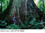 Купить «Person at buttress root of Ficus sp. Manu NP, Peru, South America», фото № 25515066, снято 23 марта 2019 г. (c) Nature Picture Library / Фотобанк Лори