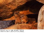 Rock hyrax (Procavia capensis). Zimbabwe, Southern Africa. Стоковое фото, фотограф John Cancalosi / Nature Picture Library / Фотобанк Лори