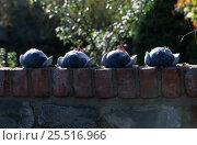 Купить «Hypnotised pigeons, immobilised by tucking head under wing. Defensive behaviour.», фото № 25516966, снято 19 августа 2018 г. (c) Nature Picture Library / Фотобанк Лори