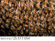 Купить «Honey bees in hive {Apis mellifera} Ecuador», фото № 25517054, снято 20 августа 2018 г. (c) Nature Picture Library / Фотобанк Лори