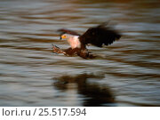Купить «African fish eagle hunting over water. Okavango Delta, Botswana, Southern Africa», фото № 25517594, снято 18 апреля 2019 г. (c) Nature Picture Library / Фотобанк Лори
