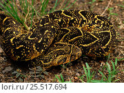 Puff adder (Bitis arietans). KwaZulu Natal, South Africa. Стоковое фото, фотограф Tony Phelps / Nature Picture Library / Фотобанк Лори