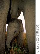 Купить «Baby Indian Elephant underneath lactating female Kaziranga NP, Assam India», фото № 25518830, снято 27 мая 2019 г. (c) Nature Picture Library / Фотобанк Лори