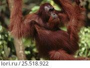 Orang utan male, Sabah, Borneo. Стоковое фото, фотограф Jurgen Freund / Nature Picture Library / Фотобанк Лори