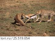 Купить «Two cheetahs from same family dispute over Thomson's gazelle kill. Kenya, Masai Mara», фото № 25519054, снято 15 декабря 2017 г. (c) Nature Picture Library / Фотобанк Лори