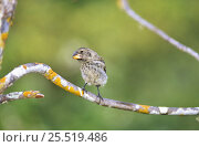 Купить «Medium ground finch (Geospiza fortis) Santa Cruz Island, Puerto Ayora, Galapagos», фото № 25519486, снято 19 июня 2019 г. (c) Nature Picture Library / Фотобанк Лори