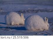 Купить «RF- Arctic hares feeding (Lepus arcticus). Ellesmere, NorthernTerritory, Canada.», фото № 25519506, снято 23 марта 2019 г. (c) Nature Picture Library / Фотобанк Лори