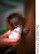 Купить «Male baby Sumatran orang utan 'Forester' {Pongo abelii} being bottle fed to rehydrate after being kidnapped by another female 'Edita'. Gunung Leuser NP, Sumatra, Indonesia.», фото № 25520142, снято 22 марта 2019 г. (c) Nature Picture Library / Фотобанк Лори