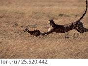 Купить «Cheetah female hunting Thomson's gazelle., Masai Mara Kenya.», фото № 25520442, снято 22 марта 2019 г. (c) Nature Picture Library / Фотобанк Лори