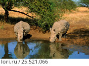 White rhinoceros drinking, Mkhaya, Swaziland, Africa. Стоковое фото, фотограф David Shale / Nature Picture Library / Фотобанк Лори