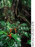 Купить «Buttress roots of Ficus tree, Yasuni NP, Amazon rainforest, Ecuador», фото № 25521678, снято 23 марта 2019 г. (c) Nature Picture Library / Фотобанк Лори