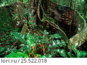 Купить «Buttress roots of Fig tree, Ficus sp. Yasuni NP. Ecuador Amazonia», фото № 25522018, снято 23 марта 2019 г. (c) Nature Picture Library / Фотобанк Лори