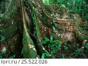 Купить «Buttress roots of Ficus tree, Yasuni NP, Amazon rainforest, Ecuador, South America», фото № 25522026, снято 23 марта 2019 г. (c) Nature Picture Library / Фотобанк Лори