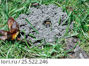 Solitary bee in nest hole on lawn (Andrena nigroaenea) UK. Стоковое фото, фотограф PREMAPHOTOS / Nature Picture Library / Фотобанк Лори