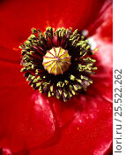 Купить «Common Poppy carpel and stamens. (Papaver rhoeas)», фото № 25522262, снято 21 января 2018 г. (c) Nature Picture Library / Фотобанк Лори