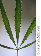 Купить «Cannabis plant shows leaf detail (Cannabis sativa indica) Spain», фото № 25522798, снято 25 сентября 2018 г. (c) Nature Picture Library / Фотобанк Лори
