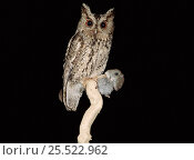 Купить «Indian scops owl with prey. Russia, Ussuriland, South Primorskiy», фото № 25522962, снято 18 июля 2018 г. (c) Nature Picture Library / Фотобанк Лори