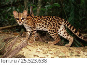 Купить «Margay (Felis wiedi) Panama Gamboa wild but semi-tame. feb 1994», фото № 25523638, снято 20 марта 2019 г. (c) Nature Picture Library / Фотобанк Лори