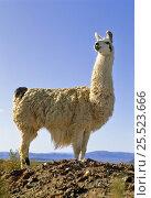 Llama (Llama glama) Laguna de Los Pozuelos NP, Andes, NW Argentina. Стоковое фото, фотограф Ross Couper-Johnston / Nature Picture Library / Фотобанк Лори