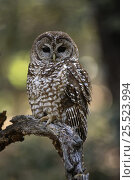 Mexican spotted owl {Strix occidentalis lucida}Arizona, USA. Стоковое фото, фотограф John Cancalosi / Nature Picture Library / Фотобанк Лори
