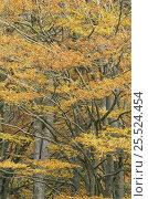 Купить «Autumnal leaves on European Beech {Fagus sylvatica} in woodland, Fife, Scotland.», фото № 25524454, снято 19 августа 2018 г. (c) Nature Picture Library / Фотобанк Лори