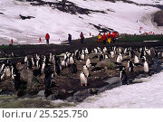 Купить «Tourists with Chinstrap penguins (Pygoscelis antarctica) Antarctic Saunders Island, South Sandwich Islands.», фото № 25525750, снято 7 апреля 2020 г. (c) Nature Picture Library / Фотобанк Лори