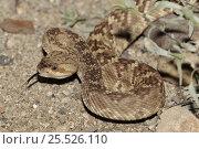 Купить «Black tailed rattlesnake, Arizona, USA», фото № 25526110, снято 17 января 2019 г. (c) Nature Picture Library / Фотобанк Лори