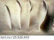 Купить «Close-up of gills of Lemon shark (Negaprion brevirostris)», фото № 25526410, снято 21 августа 2018 г. (c) Nature Picture Library / Фотобанк Лори